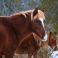 Chincoteague ponies (Equus ferus caballus) feed in the snow, Chincoteague National Wildlife Refuge, Assateague Island, Virginia.