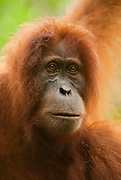 Intimate portrait of a Sumatran orangutan