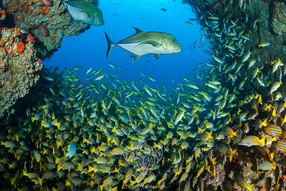"Large Black Jacks and hundreds of Snappers cruise in and out under a natural ""swim through"".<br /> <br /> <br /> Shot at Cocos Island, Costa Rica"