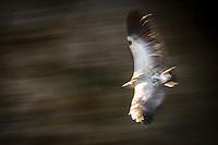 Cape Vulture in flight, De Hoop Nature Reserve, Western Cape, South Africa
