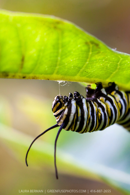 Late instar Monarch caterpillar (Danaus plexippus) beginning the process of forming a cocoon by creating an attachment on the underside of a Common Milkweed leaf (Asclepias syriaca).