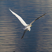 The great egret, ardea alba, also known as common egret, large egret or great white heron, is a large, widely distributed egret. <br /> Photography by Jose More