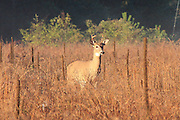 A white-tailed deer buck wanders through a Wexford County field at sunrise near Mesick, Michigan.