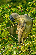 Black-crowned Night-heron preening