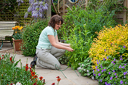 Staking perennials in a border with plastic covered metal hoops