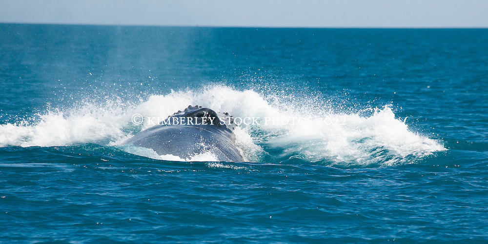 A male humpback whale surges forward creating a bow wave as it competes in a heat run off Willie Creek north of Broome.