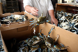 01 June 2010. New Orleans, Louisiana, USA.  <br /> Sorting crabs at Dean Blanchard Seafood Inc in Chalmette.<br /> Photo; Charlie Varley/varleypix.com