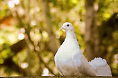 Fantail Pigeon Pictures - Photos