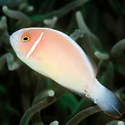 Pink Anemonefish Amphiprion perideraion at Lembeh Straits, Indonesia.