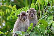 A pair of macaques perch in trees over the Klias River in Sabah, Malaysian Borneo.
