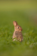 European Rabbit (Oryctolagus cuniculus) young standing up on back legs, Norfolk, UK.