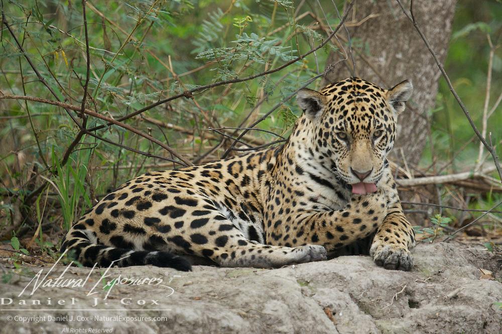 Jaguar, Wild and free roaming animal, grooming, Pantanal, Brazil.