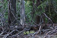 Old growth Spruce (Picea abies) in a forest of the Tarcu Mountains Natura 2000 site. Southern Carpathians, Munții Ṭarcu, Caraș-Severin, Romania.