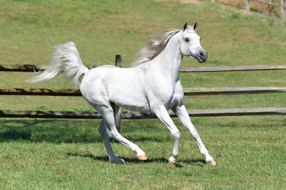 Horse running in summer field with flagging tail in side view, a very beautiful white Arabain stallion.