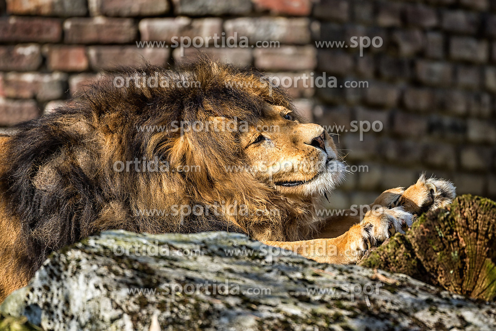 01.04.2016, Zoo, Duisburg, GER, Tiere im Zoo, im Bild maennlicher Loewe streckt sich an einem Baumstumpf // during visit to the Zoo. Duisburg, Germany on 2016/04/01. EXPA Pictures &copy; 2016, PhotoCredit: EXPA/ Eibner-Pressefoto/ Hommes<br /> <br /> *****ATTENTION - OUT of GER*****