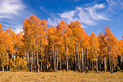 Golden Aspen leaves, aspen trees in fall, white bark, autumn, fall leaves, fall color, Utah, UT, Image ut320-17479, Photo copyright: Lee Foster, www.fostertravel.com, lee@fostertravel.com, 510-549-2202