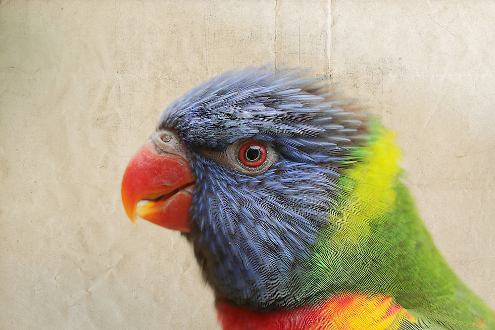 This beautiful lorikeet is part of a wildlife collection.