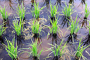 fresh green sprouting rice