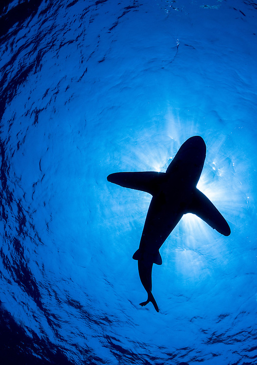 Oceanic Whitetip shark in silhouette off Cat Island in the Bahamas