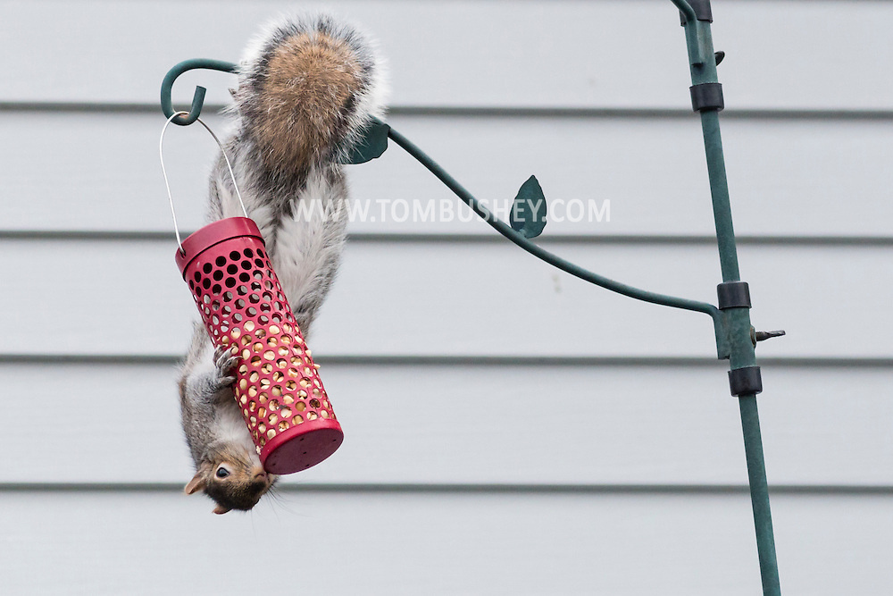 A squirrel hangs upside down to get at food in a bird feeder in Middletown, New York.