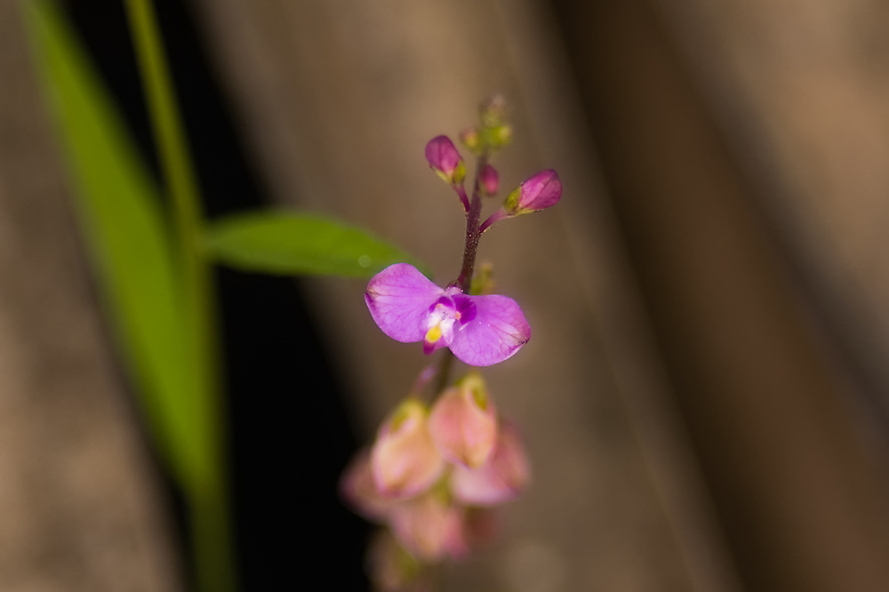 The delicate and beautiful showy milkwort is often found growing in the flooded prairies and cypress domes of the Big Cypress National Preserve.