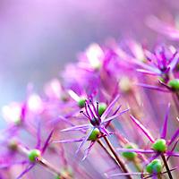Star of Persia Allium (Allium christophii)