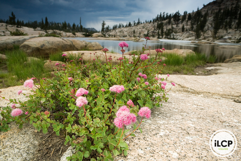 Rosy Spiraea (Spiraea splendens) flowering on lake shore, Y Meadow Lake, Emigrant Wilderness, Stanislaus National Forest, Sierra Nevada, California
