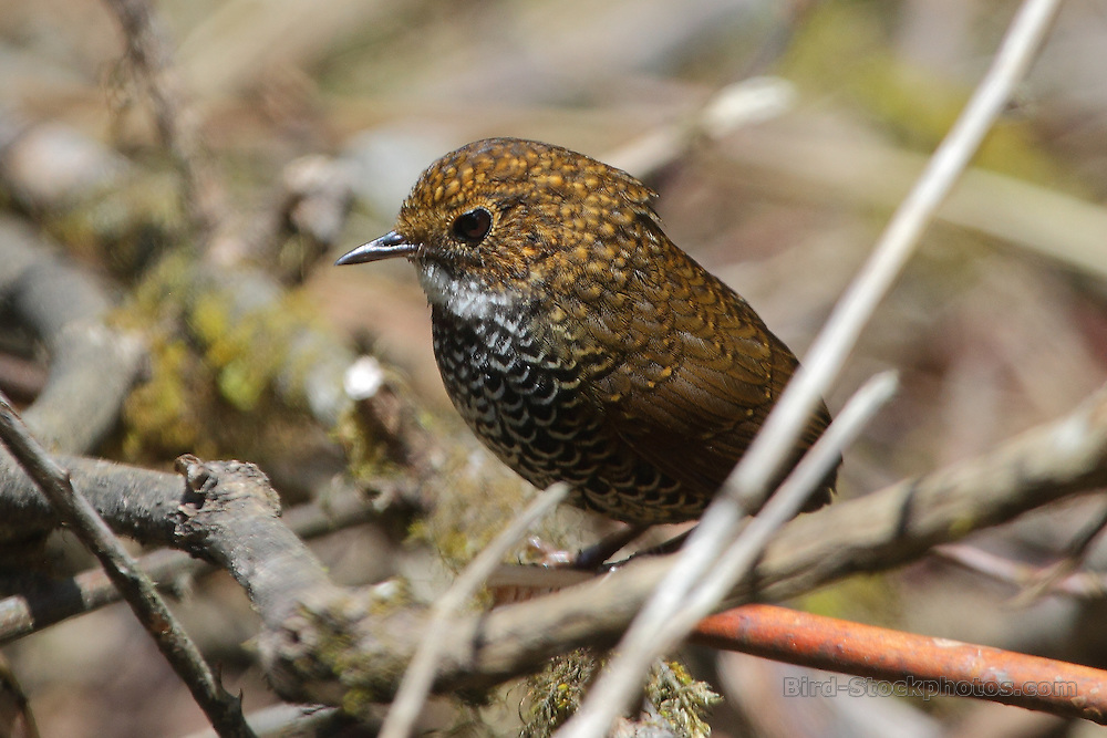 Scaly-breasted Wren-Babbler, Pnoepyga albiventer, Bhutan, by Glen Valentine