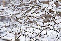 Branches of Magnolia stellata at Glebe Cottage covered in snow.