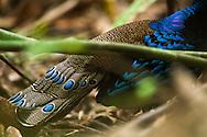 Palawan Peacock-Pheasant, Polyplectron napoleonis, Éperonnier napoléon