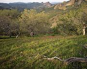 Spring, High Peaks, Wildflowers, Flowers, Oak, Oaks, Oak Tree, Oak Trees, Pinnacles, Pinnacles National Monument, California , Pinnacles National Park,