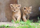 Cub Lions @ London Zoo