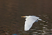 Great Egret taking flight from the shore of Lake Murray.