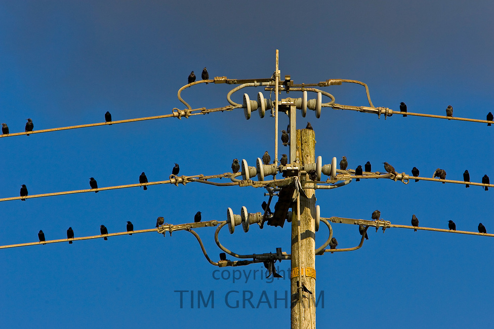 Starlings perched on power lines in the Napa Valley, California, United States of America<br /> FINE ART PHOTOGRAPHY by Tim Graham