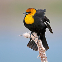 Yellow headed blackbird, Cherry River, Bozeman, Montana.