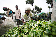 12 November 2008 - Haputale, Sri Lanka - Tamil tea pickers return from a morning of picking tea leaves and have them weighed and collected by an estate employee. Photo credit: Luke Duggley