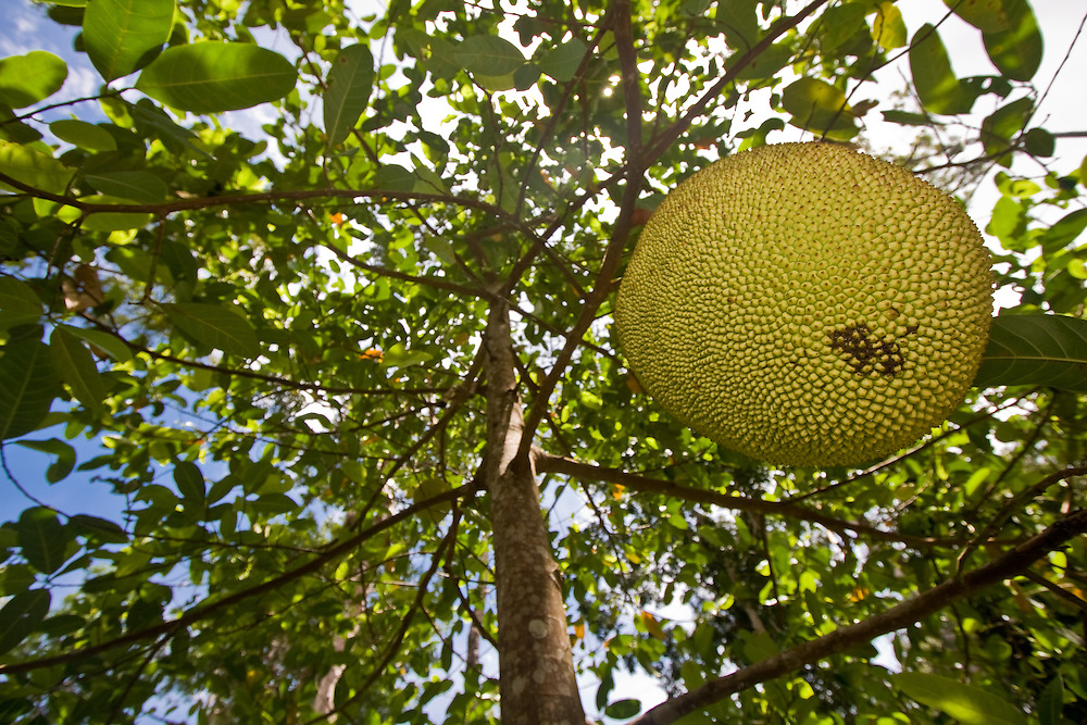A jackfruit hangs from a tree in Central Sulawesi
