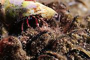 Israel, Mediterranean sea, – Underwater photograph of a Red Hermit Crab or Small Hermit Crab (Diogenes pugilator)