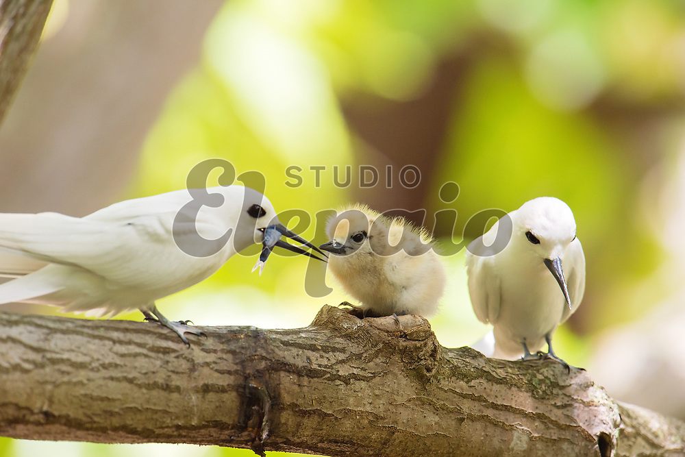 A white tern chick with its parents. The white tern (Gygis alba), or manu-o-Ku in Hawaiian, is the official bird of Honolulu. Photographed in Honolulu, Hawaii.