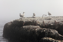 USA ALASKA ST PAUL ISLAND 8JUL12 - Seabirds on the cliffs of the island of St. Paul in the Bering Sea, Alaska.......Photo by Jiri Rezac / Greenpeace....© Jiri Rezac / Greenpeace