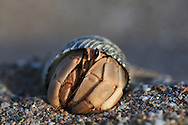 Hermit crab emerges from shell on sandy Sea of Cortez beach at Puerto Gato, Baja Sur, Mexico