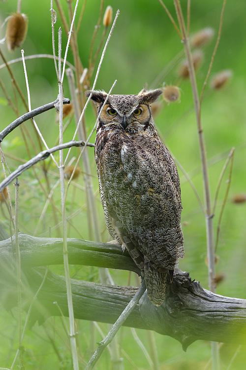 Great Horned Owl, Boulder, Colorado - 2016