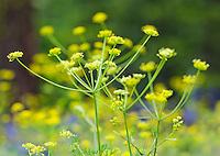 Closeup of wildflowers on the East slopes of the Cascade mountains, Washington, USA.