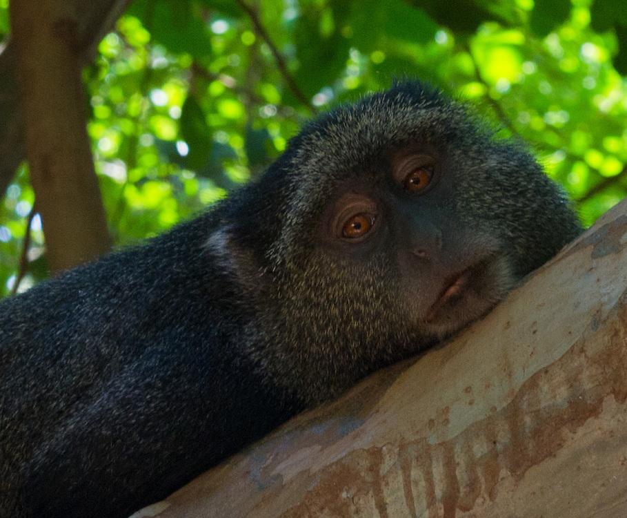 Resting Blue Monkey - Tumbili
