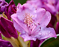 Rhododendron flower with raindrops. Backyard spring nature in New Jersey. Image taken with a Nikon N1 V3 camera and 70-300 mm VR lens (ISO 160, 300 mm, f/5.6, 1/40 sec).