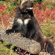 Wolverine, (Gulo gulo) In Rocky mountains. Montana.  Captive Animal.