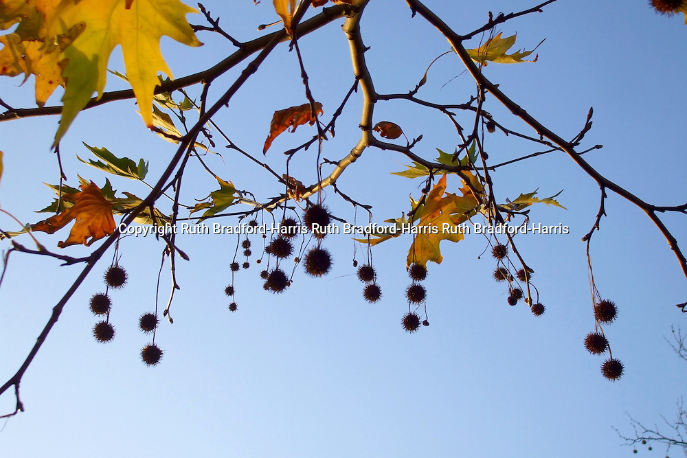 A natural garland of glowing, golden Autumn leaves and spiky, conker-like fruits hang from the branches of an Oriental Plane tree (Platanus orientalis) against a glorious blue sky.<br /> <br /> Date taken: 24 November 2008.