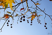 A natural garland of glowing, golden Autumn leaves and spiky, conker-like fruits hang from the branches of an Oriental Plane tree (Platanus orientalis) against a glorious blue sky.<br />