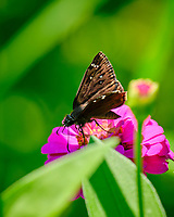 Horace's Duskywing (Erynnis horatius) ?  butterfly on a Zinnia flower.  Image taken with a Fuji X-T2 camera and 100-400 mm OIS lens