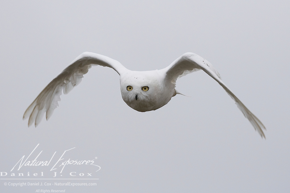 A male snowy owl takes flight in the Alaskan arctic.